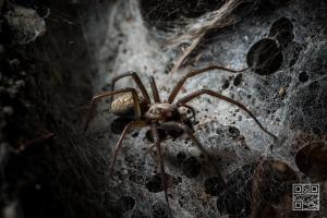 Tegenaria Atrica – Giant house spider