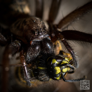 Tegenaria Atrica – Giant house spider killing a wasp