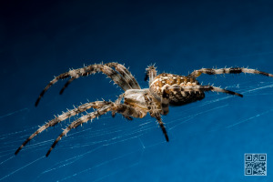 Araneus diadematus – European Garden Spider